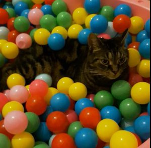 #ARTHURtheCat in the BALL BATH. TUMMY TIME is so much fun and i just love all the BALLS in this Great Interactive Cat Toy where CATS and DOGS have FUN.