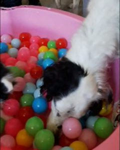 #BONOtheDog in the BALL BATH / POOL where CATS and DOGS have FUN.