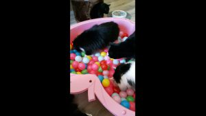 #MINItheCat and the BALL BATH / POOL. It is fun to watch them all in This Great Interactive Cat Toy is so much fun. We at CATS and DOGS have FUN LOVE IT.