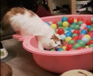 #VICKYtheCat and the BALL BATH / POOL. I didnt realise those BALLS were so soft. I have to say I like This Great Interactive Cat Toy is so much fun. We at CATS and DOGS have FUN LOVE IT.